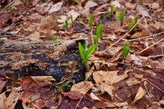 Junge wilde Porrees erhöht das Brechen durch den Boden Lizenzfreie Stockfotografie