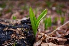 Junge wilde Porrees erhöht das Brechen durch den Boden Stockfoto