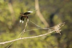 Junge Witwen-Abstreicheisen-Libelle Stockfoto