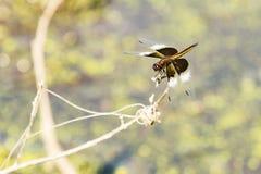 Junge Witwen-Abstreicheisen-Libelle auf Zweig Lizenzfreies Stockbild