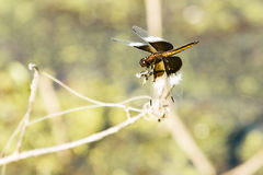 Junge Witwen-Abstreicheisen-Libelle, Nahaufnahme Stockfotos