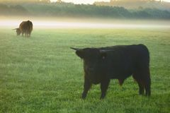 Junge Yak auf dem Weiden lassen Stockfoto