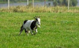 Junge Ziege Stockfoto