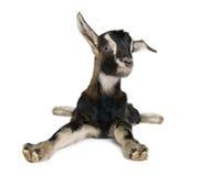 Junge Ziege (3weeks alt) Stockfotos