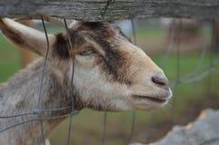 Junge Ziege lizenzfreies stockfoto