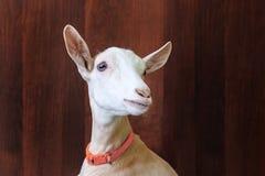Junge Ziege auf einem h?lzernen Hintergrund Gro?es Portrait stockfoto
