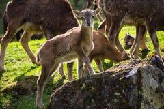 Junge Ziege, die auf einem Felsen steht Lizenzfreie Stockfotos