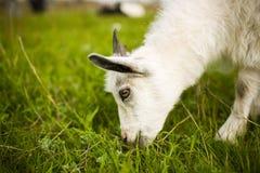 Junge Ziege, die in einer Wiese weiden lässt Lizenzfreie Stockfotos