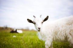 Junge Ziege, die in einer Wiese weiden lässt Lizenzfreies Stockbild