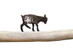 Junge Ziege, die Gleichgewicht auf einem Klotz zeigt stockfotos