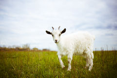 Junge Ziege lässt in einer Wiese weiden Lizenzfreie Stockfotos