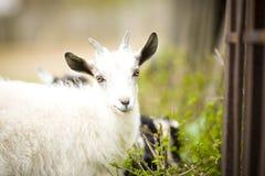 Junge Ziege lässt in einer Wiese weiden lizenzfreie stockfotografie