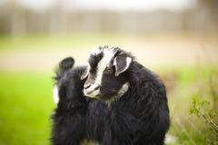 Junge Ziege lässt in einer Wiese weiden Stockfoto