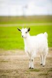 Junge Ziege lässt in einer Wiese weiden lizenzfreies stockfoto