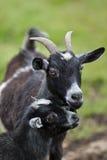 Junge Ziege mit Mutter Lizenzfreie Stockfotografie