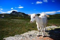 Junge Ziege in Norwegen Lizenzfreie Stockbilder