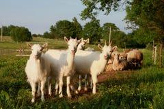 Junge Ziegen lizenzfreie stockfotos