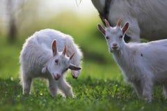 Junge Ziegen stockfoto