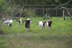 Junge Ziegen auf Bauernhof Lizenzfreie Stockfotos