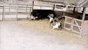 Junge Ziegenpraxiskampfkünste im Zoo stock video
