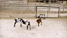 Junge Ziegenpraxiskampfkünste im Zoo stock footage