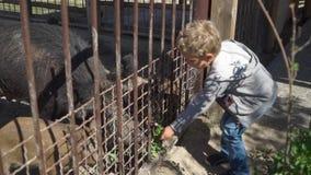 Junge zieht wilden Eber am Zoo ein stock video footage