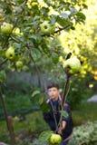 Junge zupfen Ernteäpfel vom Baum mit speziellem Pfosten Lizenzfreies Stockbild