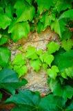 Junge Zweige des Efeus Stockbild