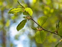 Jungeblätter in Wald 7 Lizenzfreie Stockfotos