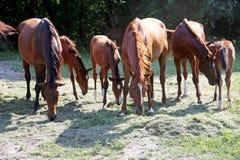 Jungefohlen- und -stutenweiden lassen ruhig zusammen auf Pferderanch stockfotografie