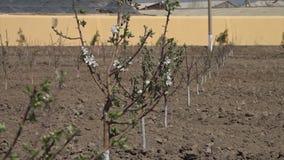 JungeMandelbaum mit weißen Blüten stock video footage