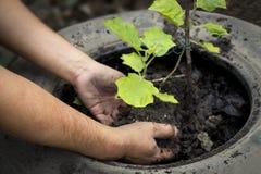 Jungen Baum durch die in t gepflanzt zu werden Mann ` s Handgärtner pflanzen, Lizenzfreie Stockfotos