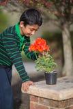 Jungen-bewundern Pelargonie blüht im Frühjahr stockfoto