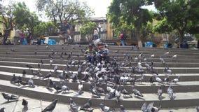 Jungen, die mit spielen und Fütterungstauben auf Piazza Murillo, La Paz, Bolivien stock video