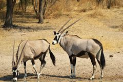 Jungen und Mädchen - Oryx, Gemsbuck Stockbilder