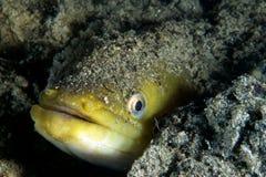 Junger Aal stockfotografie