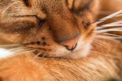 Junger abyssinischer roter Katzenschlaf im Bett Nahaufnahme Süßes Kätzchenmakrofoto Pastellfarbfoto Stockbild