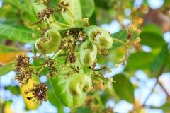 Junger Acajoubaum auf dem Baum Stockbilder