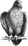 Junger Adler Stockbild