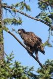 Junger Adler auf Niederlassung. Stockbild
