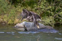 Junger Adler, der über das Wasser fliegt Lizenzfreie Stockfotos