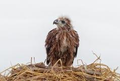 Junger Adler im Nest lokalisiert auf Weiß Stockfoto