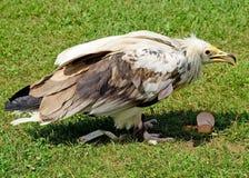 Junger Adler isst ein Hühnerei Lizenzfreie Stockbilder