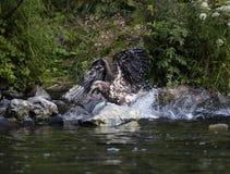 Junger Adler landet im Wasser, um einen Lachs zu ergreifen Lizenzfreie Stockfotografie