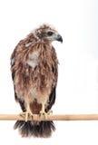 Junger Adler lokalisiert auf Weiß Lizenzfreie Stockfotos