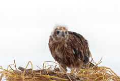 Junger Adler lokalisiert auf Weiß Stockfotografie