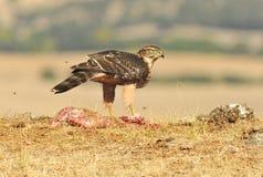 Junger Adler mit Lebensmittel auf dem Gebiet Stockfotos