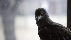 Junger Adler vor Fenster Stockbild