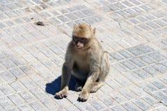 Junger Affe Stockbilder