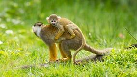 Junger Affe auf der Rückseite es ist Mutter Lizenzfreie Stockfotografie